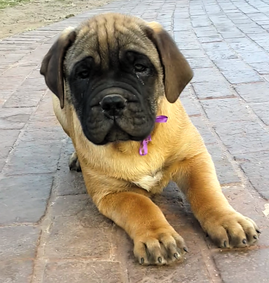 Bullmastiff Pregnancy: The 7 most common issues during and