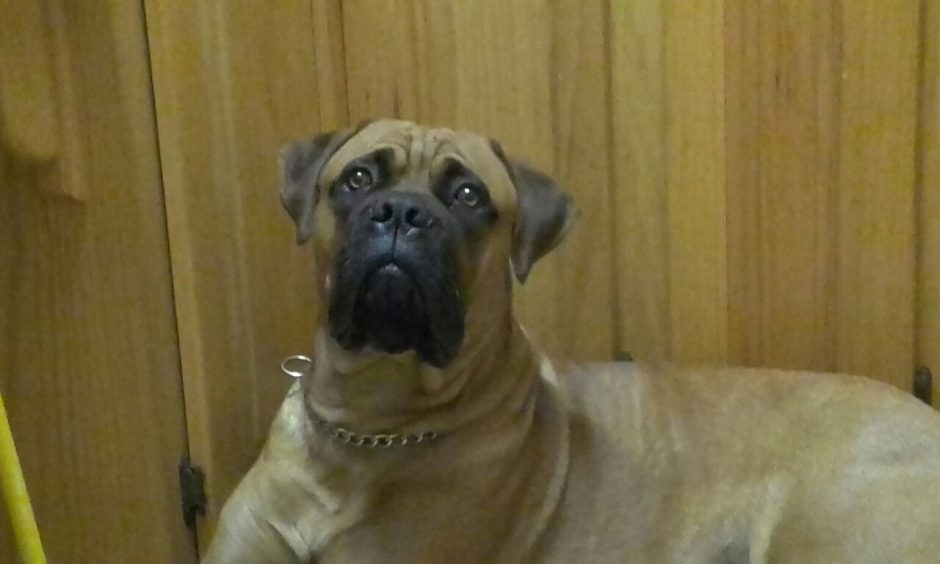 Bullmastiff Growth Visual Progress And Changessargethrust Bullmastiffs