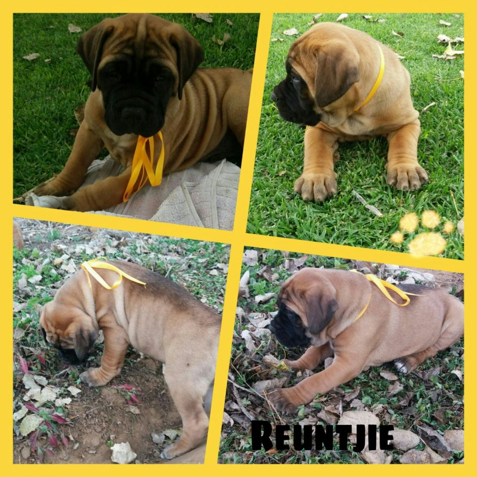 Bullmastiff growth visual progress and changessargethrust bullmastiffs ferguson son of max and sammy nvjuhfo Gallery