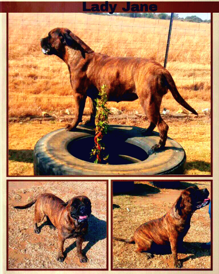 Sargethrust Brindle Bullmastiff Female Lady Jane