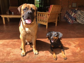 Bullmastiff Growth - Visual Progress and ChangesSARGETHRUST Bullmastiffs